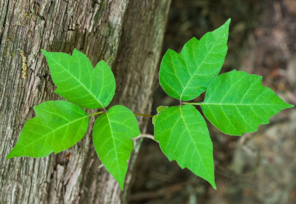 Climate modification is making poison ivy more powerful and itchier